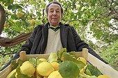 Harvest of lemons 'de Menton' in a garden