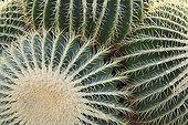 Barrel cactus in a garden