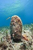 Noble Pen Shell Les Ferranelles Medes Islands Costa Brava