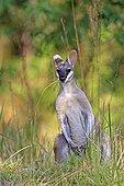 Whiptail Wallaby in the Lamington NP Australia
