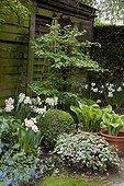 Narcisses 'Geranium' en fleur et cabane de jardin