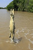 Crocodile standing on its tail Kakadu NP Australia