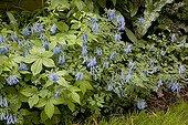 Corydale bleue en fleur dans un jardin
