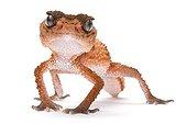 Wheeler's Knobtail Gecko on white background