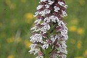 Orchis brûlée en fleur au printemps France