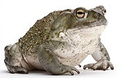 Colorado Toad on white background