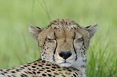 Portrait of a Cheetah lying in the Maasai Mara NR Kenya
