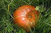 Potiron dans un jardin potager en automne