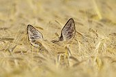Roe deer in a grain field in summer Germany
