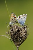 Blue mating on calcareous grassland Franche-Comté France