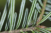 Aphid on a branch of fir tree Vosges France ; Honeydew rejected by aphids is collected by bees and honey will fir AOC Pine Honey Vosges since 1999