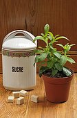 Young plant Stevia pot and sugar box  ; or herb of Paraguay. Asteraceae native to Central America to 200 times sweeter than sugar classic. Since autumn 2009 it was authorized in France for the manufacture of a sweetener.