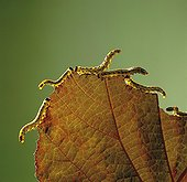 Hazel Sawfly larvae on Red Filbert leaf in a garden France