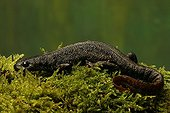 Alpine Newt on moss and autumn leaves