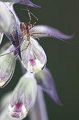 Harvestman on a Purple foxglove flower France