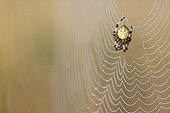 Cross orbweaver on its cobweb France