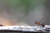Southern wood ant on a stone France
