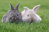 Young domestic rabbits in grass France