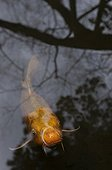 Koi with reflections in Kyoto Japan