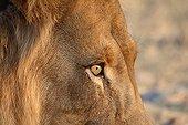 Regard d'un Lion PN Etosha Namibie
