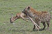 Hyène tachetée ayant capturé un jeune gnou Lac Ndutu