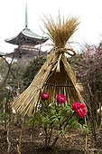 Exhibition of peonies in Ueno Park Tokyo Japan ; Small straw roofs protect the flowers from the snow and rain