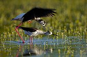 Black-winged Stilts mating Bourgneuf Bay France