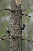 Three-toed woodpecker on a conifere trunk Tatranska Lomnisca ; In an area where spruce trees are attacked by Spruce bark beetle