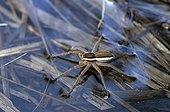 Raft spider on water