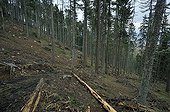 Infested trees cut in a conifere forest Slovakia