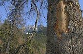 Spruce attacked by Spruce bark beetle Hrebienok Slovakia