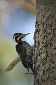 Three-toed Woodpecker on a trunk Tatranska Lomnica ; In areas where spruce trees are attacked by Spruce bark beetle, foresters can count on effective support of Three-toed woodpeckers. To raise a brood capture a couple catch thousands of larvae.
