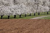 Cherry trees in bloom in the countryside in Alsace  France