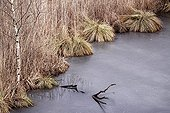 Frozen channel on a reed bed side in Alsace  France