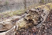 Trunk in decomposition on a river side in Alsace  France
