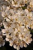 Pear tree flowers
