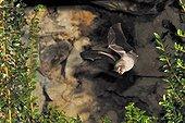 Lesser Horseshoe Bat flying in the region Burgey France