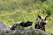 Bullying behavior among youth African wild dog Botswana