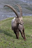 Alpine Ibex on the lawns in Val-d'Isère Savoie France