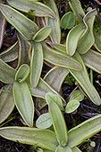 Alpine butterwort ; Carnivorous Plant in part thanks to its sticky leaves