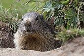 Portrait of an Alpine Marmot in Val d'Isère France