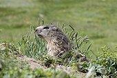 Alpine Marmot in alpine meadow in Val d'Isère France
