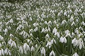 Common snowdrop growing in the underbrush France