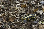 Salamander in undergrowth in a forest park Franc