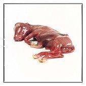 Foetus of lamb