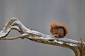 Red squirrel on a branch in a timber France