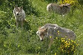 European Wolves eating in a clearing France