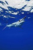 short-billed spearfish, Kona, Big Island, Pacific Ocean, Hawaii, USA