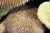 Mushroom Coral Mayotte