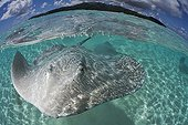 Pink whip ray in the lagoon Tahaa French Polynesia